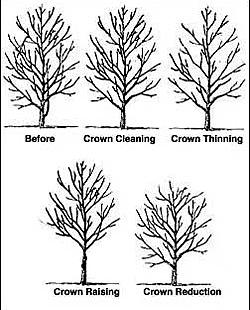pruning-mature-trees-3